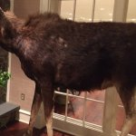 Moose sighting in the lobby