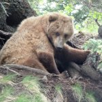 Just a sweet bear trying to take a nap at the base of a tree.