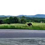 Fun to watch the cows graze in the pasture across the street