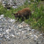 Brown Bear on way to Yukon