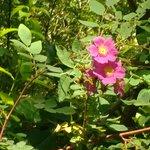 Late June Wild Rose