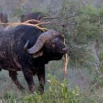 An African Buffalo during a dominance display!