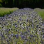 Lavender Field - Close Up