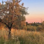 sunset in the olive groves