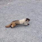 Marmot!!