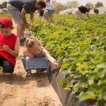 Pick Strawberries | Fifer Orchards