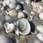 Beach shells on white sandy beach just steps away Gulf of Mexico-Inn has shell washing station t