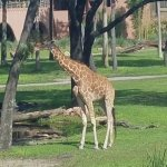 They put food in the tree to keep the giraffes moving around.