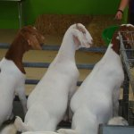 Goats lining up for their bottle