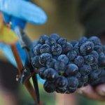 Pinot noir harvest 2017