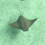 Sting rays