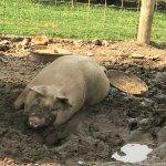 Pig at Milburns 2017