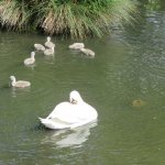 Swans relaxing