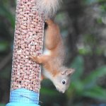 Red Squirrel on feeder. Glenloy Lodge.