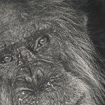 Tubman - elderly chimp formerly pet of Liberian President