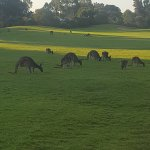 Kangaroos on the golf course.
