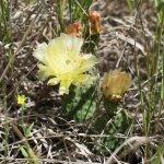 Flowering cactus in Midland Provincial Park