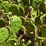 The cacti thrive in the summer sun.