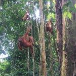 So many orang-utans