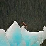 Young Bald Eagle resting on an iceberg.