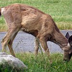 Fort Casey State Park Deer