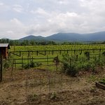 Vineyard with Mountains in back