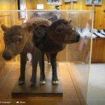 Double headed calf