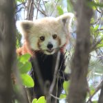 The Zoo has three Red Pandas - make sure you see them during feeding time to learn more about th