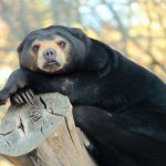 The Zoo is home to New Zealand's only Sun Bears - father and daughter duo, Sean and Sasa