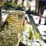 In Jan 2017 the Zoo opened a new walk-through Kea Experience