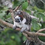 View of a father Geoffroy's Tamarin and his baby from the Observation deck.