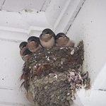 Baby barn swallows.