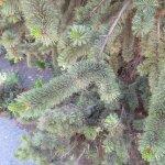 Sign follows explaining this pine