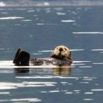 Sea otter kayaking