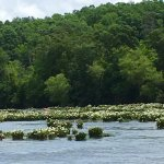 Rocky shoals spider lilies in bloom