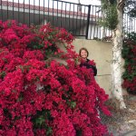 The bougainvillea was in full bloom when we were there in April.  This is a photo in their parki