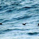 Surf scoter ducks during fall migration at Lake Worth Pier - November 2016