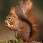 Red Squirrels in the grounds