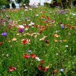 Wildblumenwiese an der Seepromenade