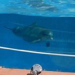 delfín adulto