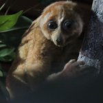 Loris (in the Natural History section of the museum)
