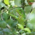 Wildlif on the grounds - iguana