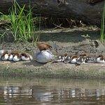 Mother Merganzer and her 10 offspring