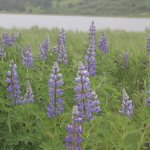 Lupine at Kalsin Pond