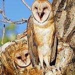 Barn owl laughs.
