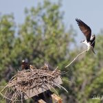 Osprey delivers branch to nest.