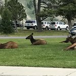 Lounging elk