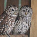 Barred Owl pair