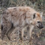 Didn't expect to get this close to a hyena