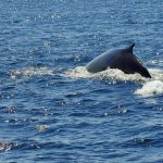 this is a Fin whale heading back to the deep water after breathing